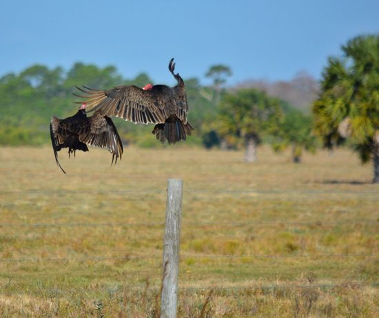 Vultures Taking Flight St Sebastian River Preserve State Park Nature's Ballet Bird Photography Animal Themes Animals In The Wild Bird Animal Wildlife Outdoors Nature No People Day Field Clear Sky Grass Spread Wings Sky The Great Outdoors - 2017 EyeEm Awards