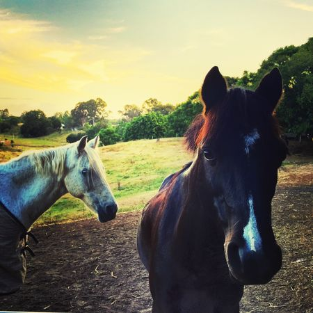 IPhoneography IPhone Sunset Horses Horse The Great Outdoors - 2016 EyeEm Awards A couple of riding school horses at sunset