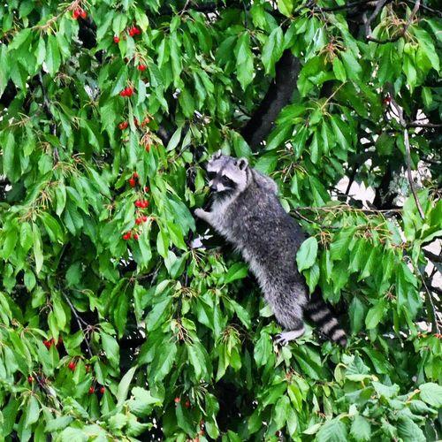 Racoon Waschbär Baum Bäume Trees Tree