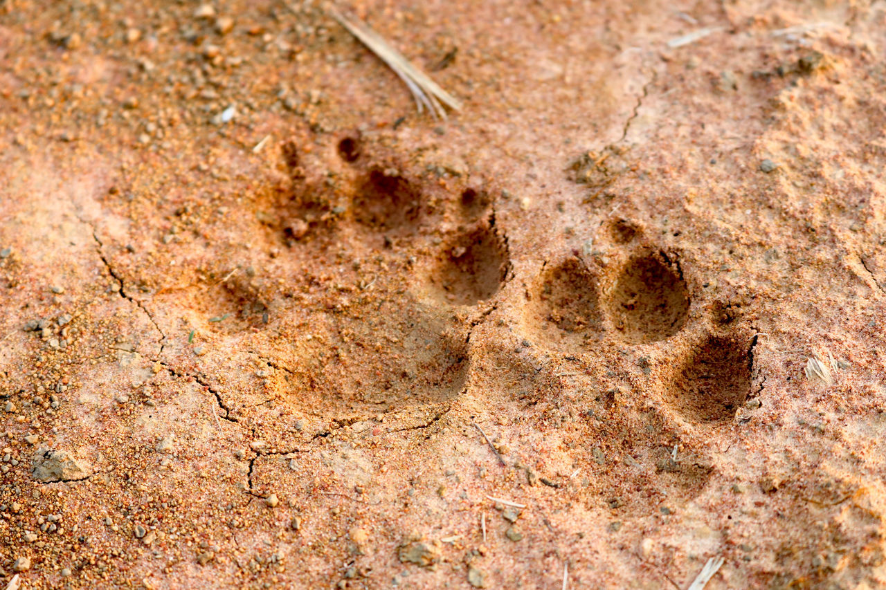 no people, animal themes, nature, ancient, animal, land, animal track, footprint, history, fossil, animal wildlife, the past, paw print, dirt, old, desert, environment, close-up, outdoors, full frame, mud, archaeology