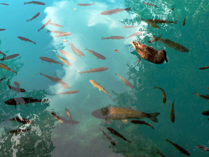 Creatures in water.. Animal Themes Animals In The Wild Day Fish Large Group Of Animals Nature Outdoors Plitvice National Park Swimming Water