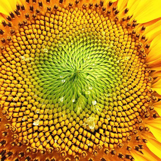 Lovin the sunflowers in my backyard!