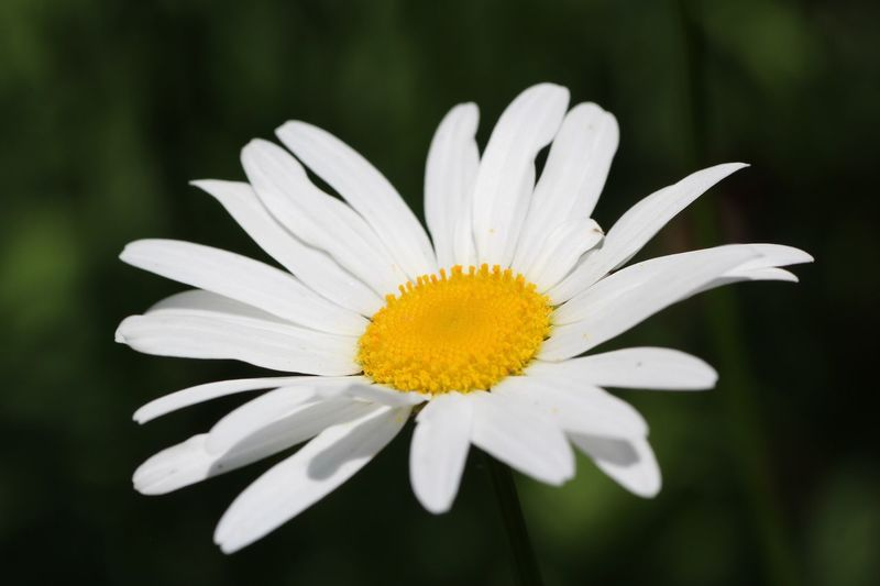 Beautiful Garden Flower Flowering Plant Fragility Plant Vulnerability  Freshness Petal Inflorescence Flower Head Beauty In Nature Close-up Growth Pollen White Color Yellow Nature Daisy Focus On Foreground Outdoors No People