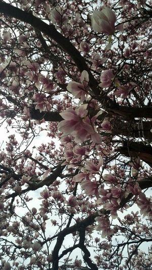 Tree Magnolia