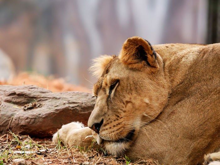 Close-up of lioness relaxing outdoors
