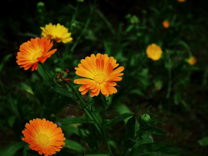 High angle view of orange flowers blooming in park
