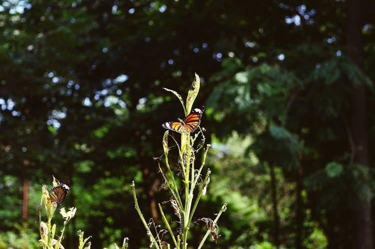 Thane Sudipinc Butterfly Edit Open Open Edit