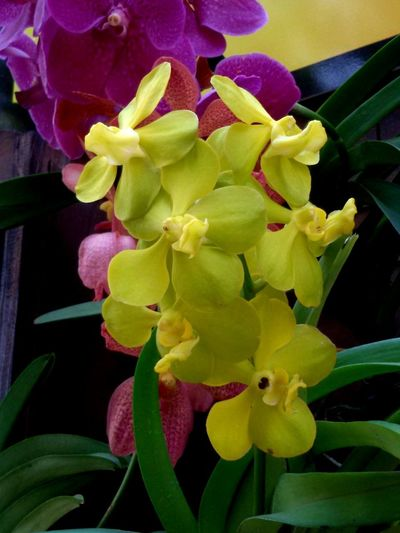Orchids Beauty In Nature Close-up Day Flower Flower Arrangement Flower Head Flowering Plant Fragility Freshness Growth No People Outdoors Plant Plant Part Yellow