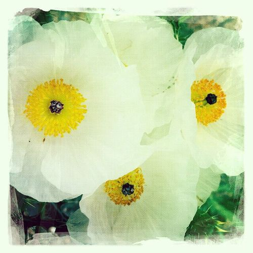 Poppies. Flowers Flowerporn Flower Collection Flowers, Nature And Beauty Poppies  Poppies In Bloom Poppies Blooming Flowers,Plants & Garden Flower Porn Flower Photography Flowers_collection Flower Head IPhoneography Desert Life White Flower White