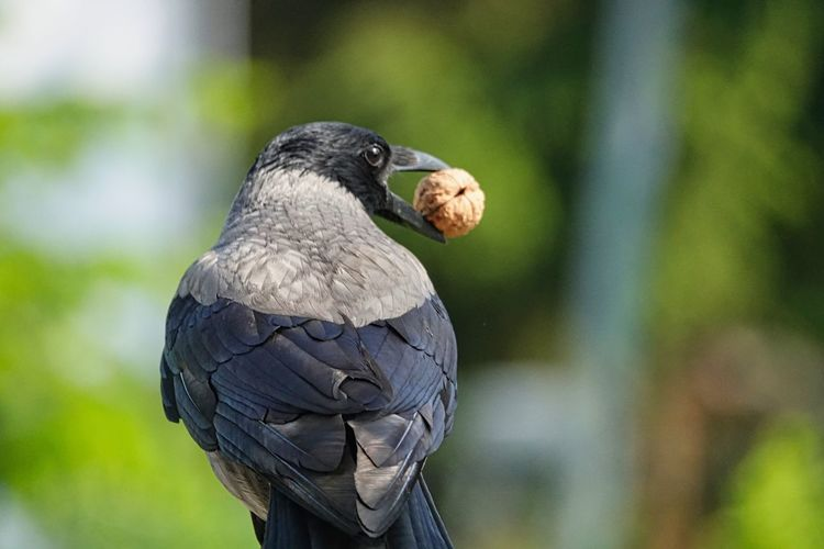 Crow Bird Vertebrate One Animal Animals In The Wild Animal Themes Animal Animal Wildlife Focus On Foreground Day Close-up Perching Nature No People Beak Outdoors Gray Zoology Looking Black Color Looking Away