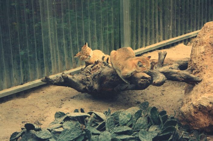 Animals Bigcats Nature Parc Des Félins Wildcats Animal Photography Animal_collection Cute Animals EyeEm Animal Lover
