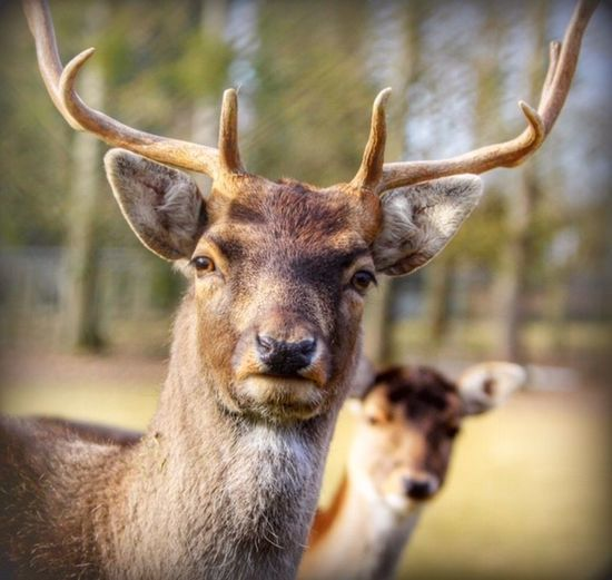 Animal Themes Animal Wildlife Animals In The Wild Antler Close-up Day Deer Looking At Camera Mammal Nature No People One Animal Outdoors Portrait Stag