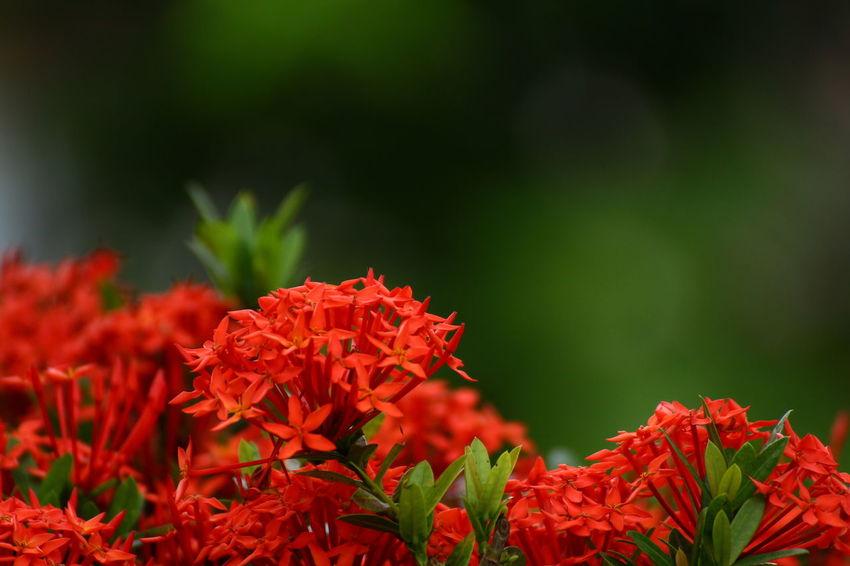 Flower Red Rubiaceae Rubiaceae Spike Flower