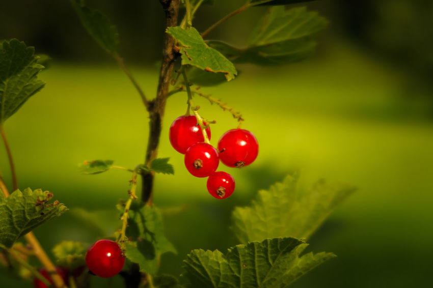 Redcurrants Austria Branch Cherry Tree Close-up Day Food And Drink Freshness Fruit Growth Healthy Eating Leaf Nature No People Outdoors Plant Red Redcurrant Rose Hip Tree