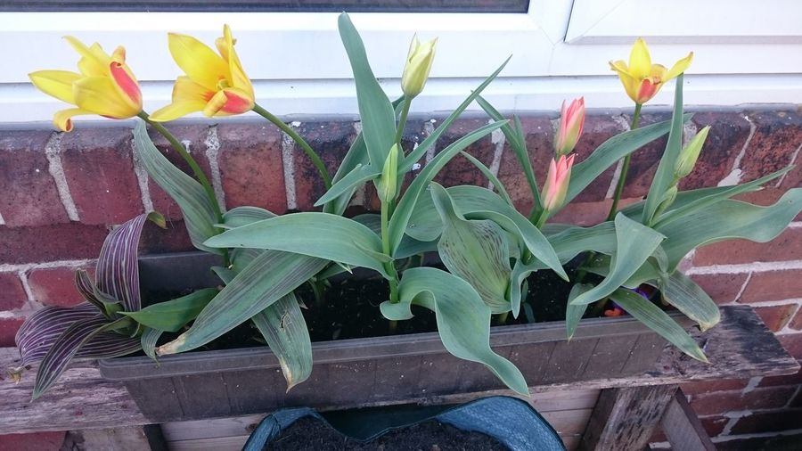 Tulips 🌷...