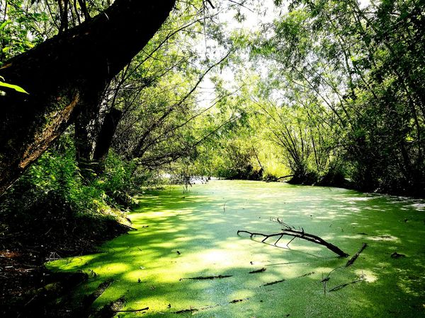 swamp, Water Nature Growth Beauty In Nature The Great Outdoors - 2017 EyeEm Awards Tranquility Getting Away From It All Breathing Space Live For The Story Sommergefühle Scenics Let's Go. Together. Tranquil Scene Green Color Standing Water The Week On EyeEm This Is Natural Beauty