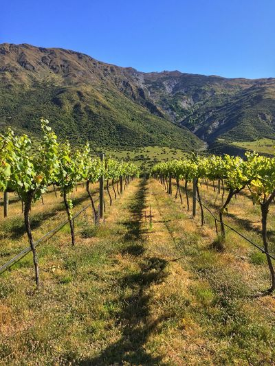 Walking amongst the vines. Grapevines  Vineyard Summertime Rural Scene Outdoors Viticulturee Rows In Order New Zealand