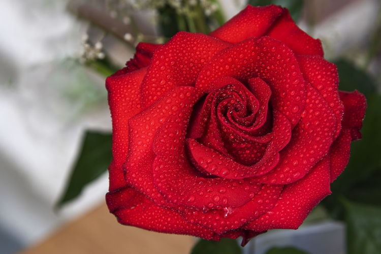 Beautiful red rose with water drops and copy space background Flowering Plant Flower Fragility Petal Freshness Plant Close-up Nature Outdoors Backgrounds Wallpaper Copy Space Floral Blooming Blossom Botanical Botany Gardening Fragance Spring Beautiful Selective Focus Water Drops Red Rosé