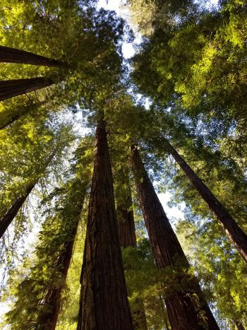 Underneath The Trees In The Shade Beautiful Redwood Trees Amazing Redwood Trees Tall Redwood Trees Tree Branch Tree Trunk Forest Sky Green Color Tall - High