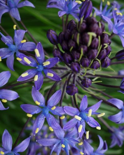 Scilla Peruviana Plant Flower Flowering Plant Freshness Growth Purple Beauty In Nature Close-up Fragility Petal Nature Flower Head Day No People Botany Plant Part Focus On Foreground Outdoors Inflorescence Vulnerability