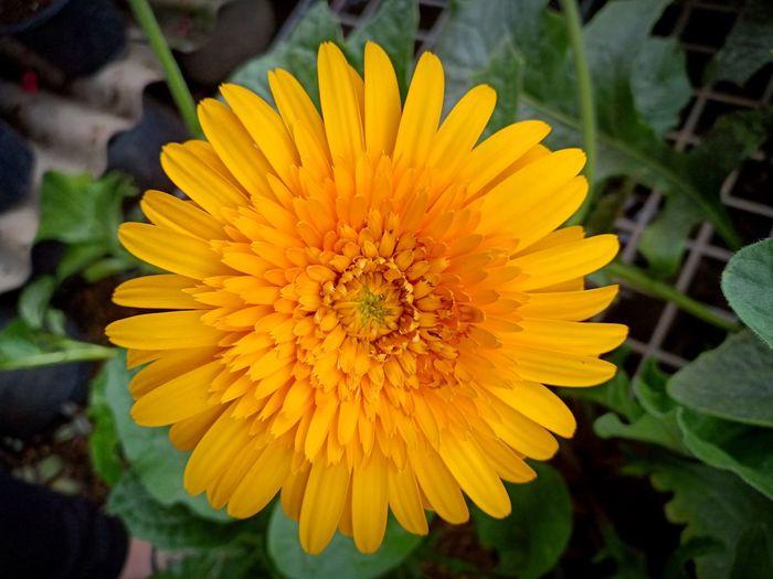 Gerbera Gerbera Daisy Gerbera Flower Thailand Fower Transvaal Daisy Flower Head Flower Yellow Sunflower Petal Multi Colored Uncultivated Blossom Summer Awe
