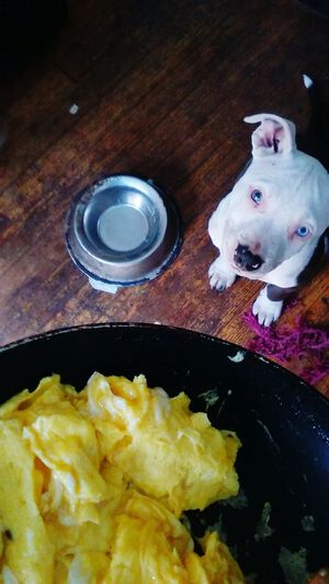 Eggs And Cheese are less expensive than Puppy food, tastes better and better for her. Staffordshire Bull Terrier Staffy Dog Dinner Dog Bowl Dog Dish Blue Eyes White Blue Nose Pitbull Scambled Eggs PhonePhotography Kyocera Hotfoodpup1 No People Playing With My Food Pet Portraits