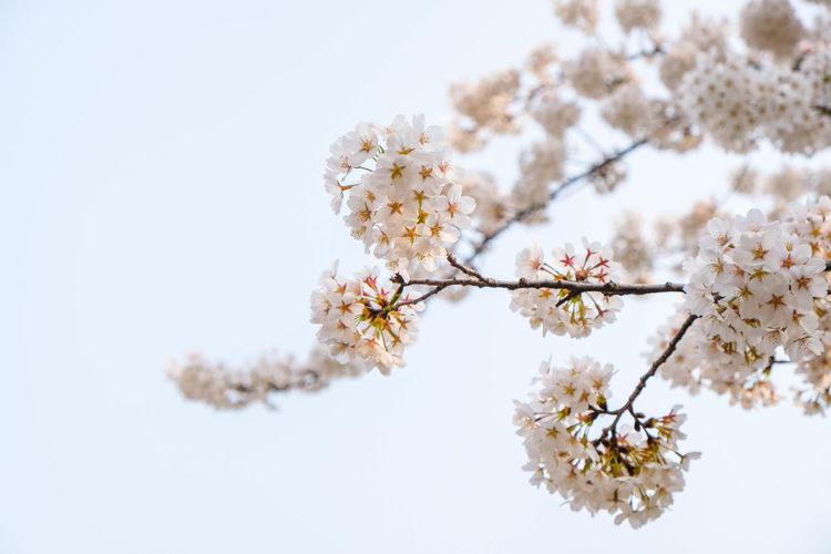 Close up white sakura flower blossom on tree in spring seasonal,banner space for adding text.natural background Flower Plant Freshness Beauty In Nature Blossom Cherry Blossom White Color Branch Nature Growth Springtime No People Sky Flower Head Outdoors Bunch Of Flowers Sakura Summer Softness Nature Tree Garden Blooming Flower Blooming Park