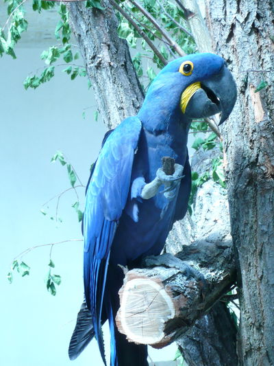 Amazon Animal Themes Animal Wildlife Animals In The Wild Beak Beauty In Nature Bird Bird World Blue Brazil Close-up Hyacinth Arra Hyacinth Macaw Jungle Macaw Nature One Animal Parrot Perching Zoo Zoology