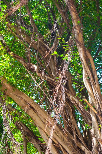 Branches of banyan tree with roots pattern Banyan Tree Banyan Tree Roots Branch Brown Close-up Day Forest Green Color Growth Leaves Nature No People Outdoors Roots Roots Of Tree Tree Tree Trunk