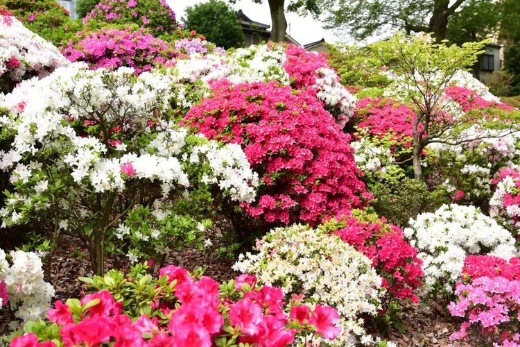 Snapshot Colors Japan Spring Flowers Nature Photography Snapshots Flower Collection Azaleas Tokyo,Japan Snapshots Of Life Azaleaflower