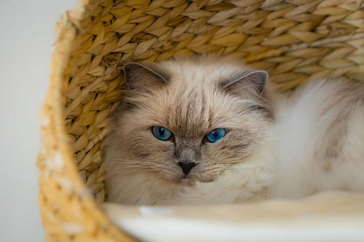 High angle view of cat looking at camera
