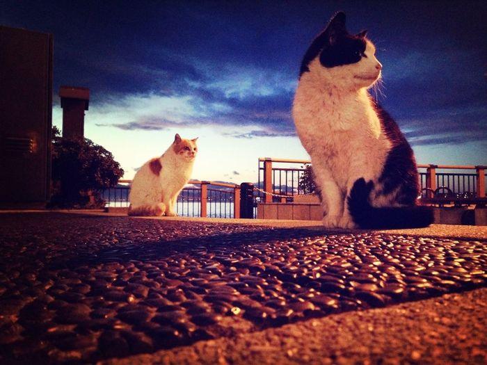 Cat Walking Enoshima