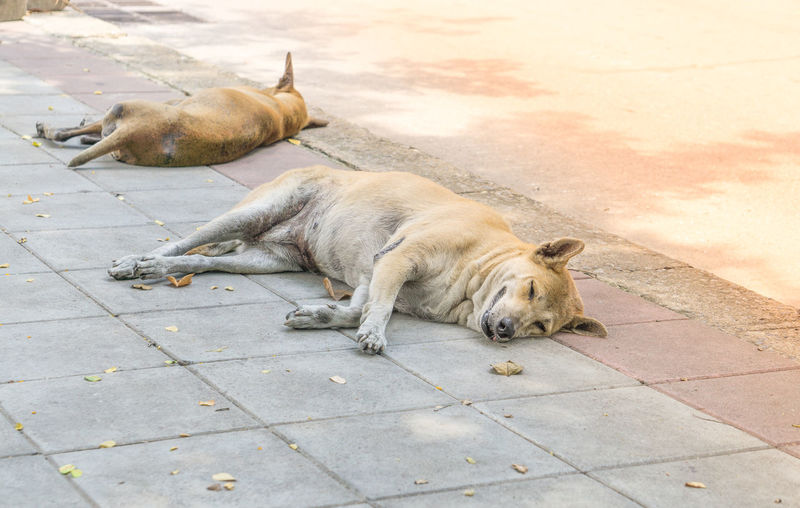 stray dog sleep on the street. Animal Animal Themes Canine Dog Domestic Domestic Animals Flooring Footpath High Angle View Lying Down Mammal No People One Animal Pets Relaxation Resting Sleeping Stray Animal Vertebrate