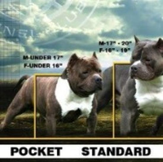 A.B.K.C. American Bully My Dog Is Cooler Than Your Kid.