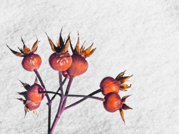 Branch Bud Close-up Fruit Healthy Eating Leaf Red Ripe Rose Hips Snow Stem Twig Winter
