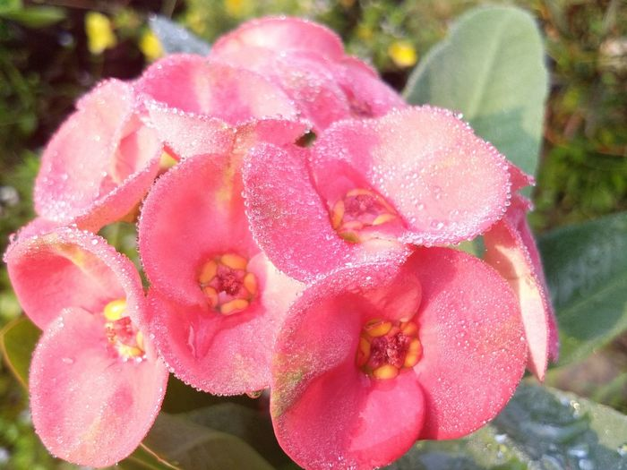 Pot Sian flower in the morning. Poy Sian Flower Pink Garden Green Flower Head Flower Pink Color Petal Water Springtime Close-up Plant Blooming Blossom In Bloom Botany Spring
