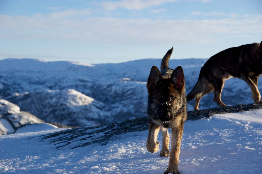 Cold Temperature Winter Snowcapped Mountain Outdoors Dog Snow Canine Nature Mountain German Shepherd Winter Dogs In The Snow Approach Incoming Pets Frozen No People Norway Norway Nature Outdoor Life Winter Hiking Sky Sunlight Day