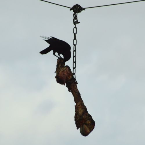 Crow Carnivore