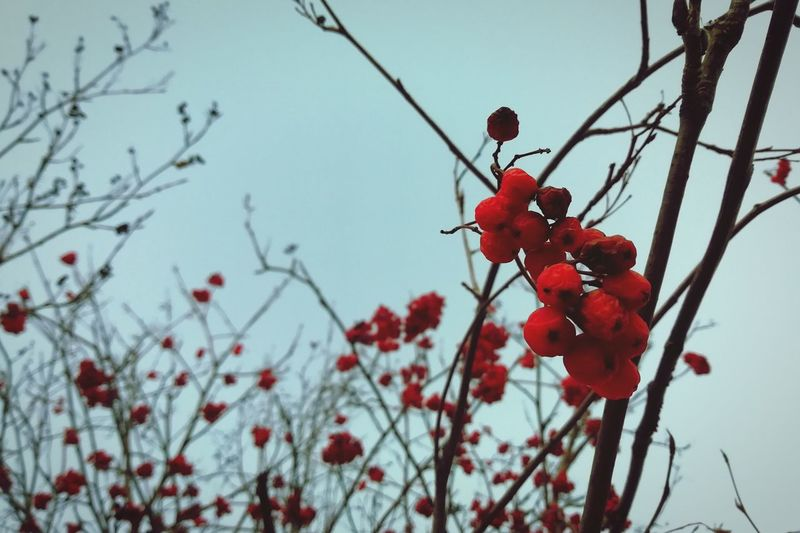 Tree Branch Winter Fruit Red Snow Hanging Rose Hip Sky Plant Berry Fruit Blooming Cherry Tree Cherry Blossom Berry