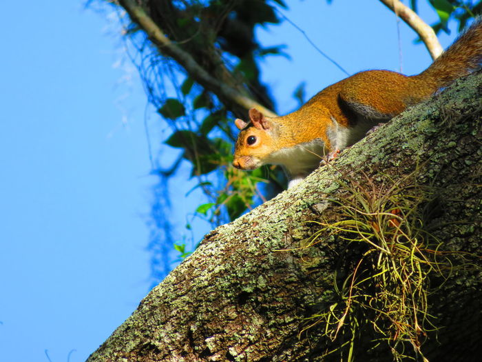 Squirrel climbing down Tree Reptile Branch Close-up Squirrel Bark