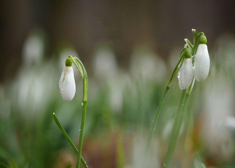 Snowdrop Schneeglöckchen Beautifull Nature EeyemBestPhotography Walking Around