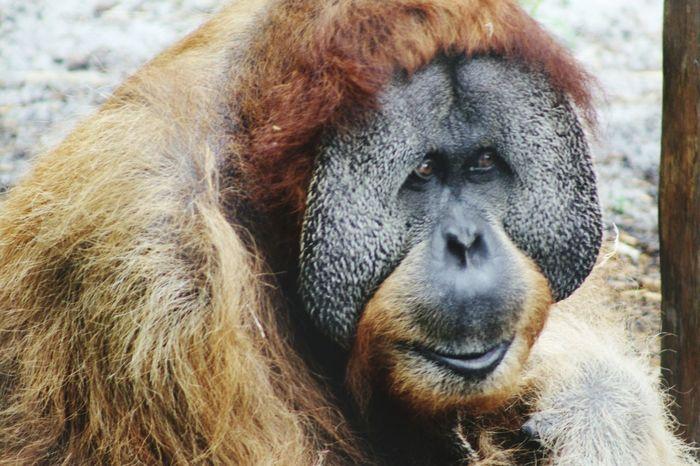 Orangutan Sadeyes