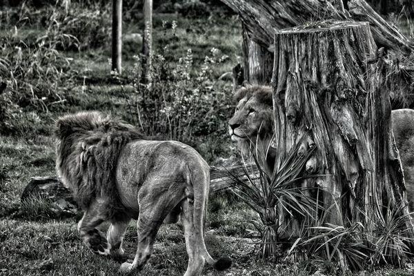 Hi! Turkey Bursa Botanik Hello World Lions Enjoying Life Taking Photos Iyigeceler Nature Pic Foto Photography My Country ın A Photo Bestoftheday EyeEm Good Day First Eyeem Photo Animal Photography Aslan Goodtime Animals Fotografia Picture Fotoshooting