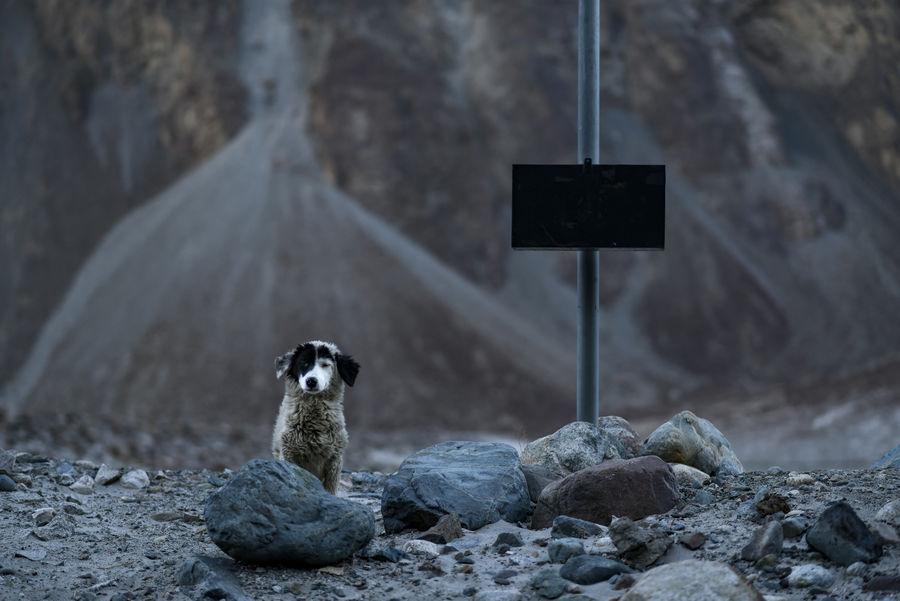 A wild mountain dog seen on the way to Tur Tuk Village Ladakh Turtuk Village Animal Themes Animal Wildlife Animals In The Wild Day Dog Domestic Animals Focus On Foreground High Altitude Mountain Dog Nature No People One Animal Outdoors Pets Portrait Rock Stone - Object Street Dog