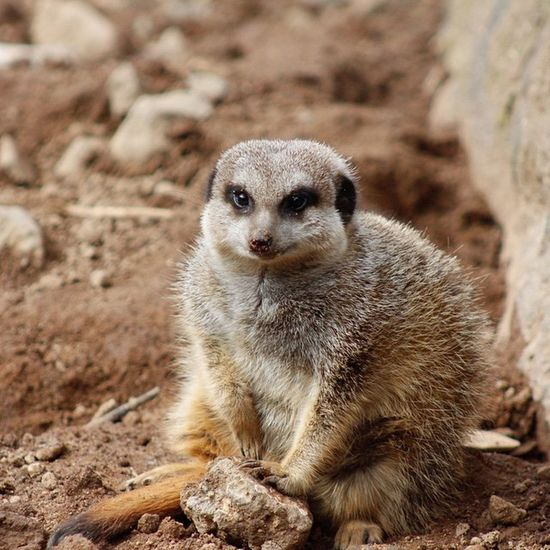 Photography Belfast Zoo Ravichitwan Ravichitwanphotography Animal Mischievous Uptosomething Meerkat