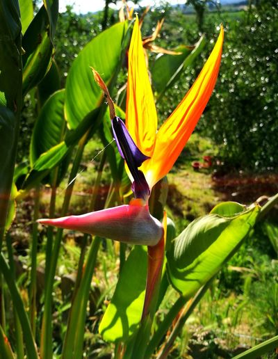 The last bird of paradise of this year😄😄😄😄...the incredible beaty of nature...Strelitzia flower... Nature Green Color Beauty In Nature Plant