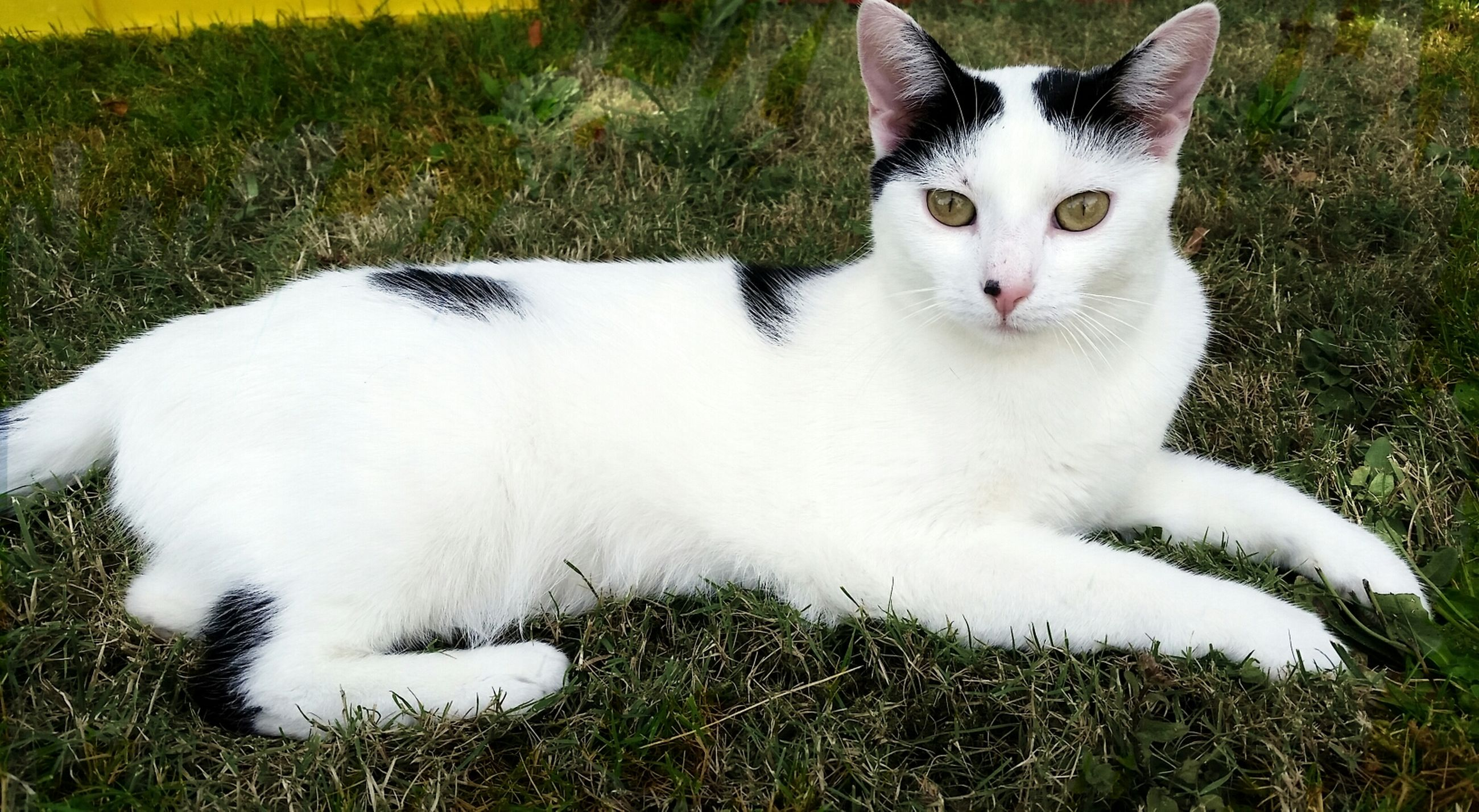 pets, domestic animals, domestic cat, cat, one animal, animal themes, grass, mammal, feline, looking at camera, portrait, white color, field, grassy, whisker, close-up, alertness, relaxation, sitting, high angle view
