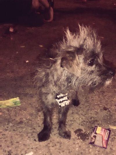 Ver este perrito fue amor a primerl vista Perrito Punk Relaxing Enjoying Life Hi! Punks Perropunk Punklife Punkshow Pura Mierda