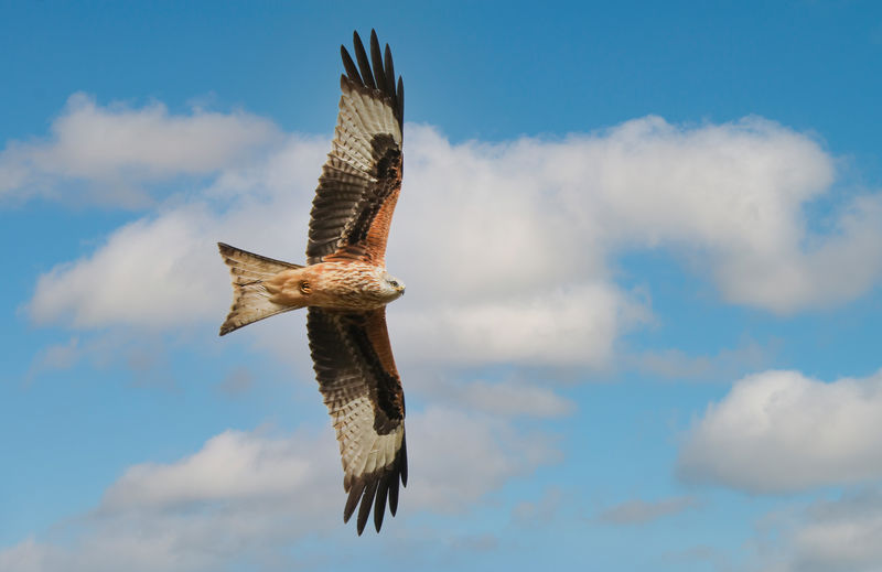 Red kite flying through the sky