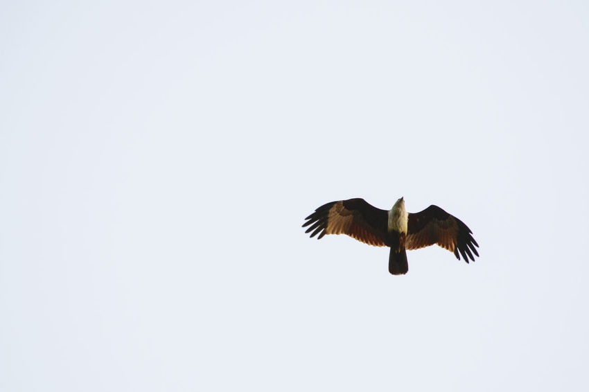 Flying One Animal Spread Wings Bird Of Prey Animal Wildlife Animal Themes Animals In The Wild Bird No People Nature Day Outdoors Hawk Eagle Fowl Wildlife Minimalism